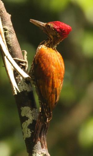 Greater_flameback_woodpecker