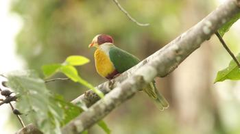 Cream_bellied_fruit_dove