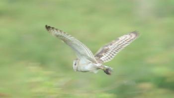 Grass_owl