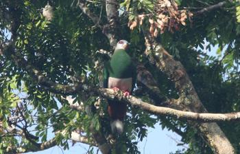 Pink_bellied_imperial_pigeon